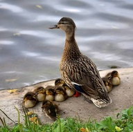 mother duck keeping watch