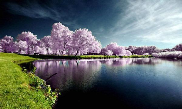 lavendar trees-001